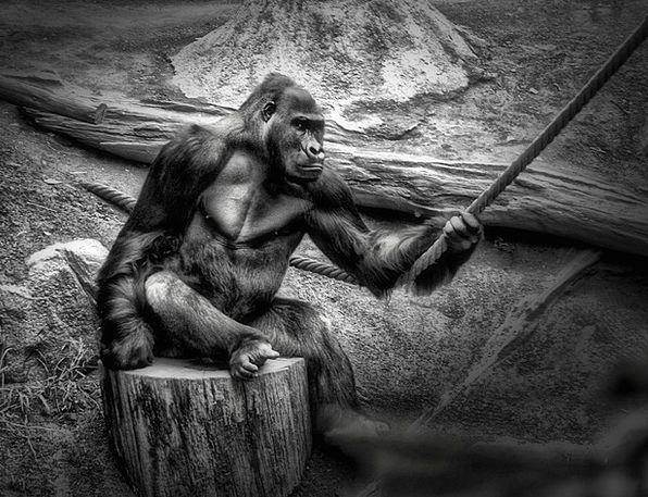 Monkey Brute Habitat Home Gorilla Zoo Menagerie S
