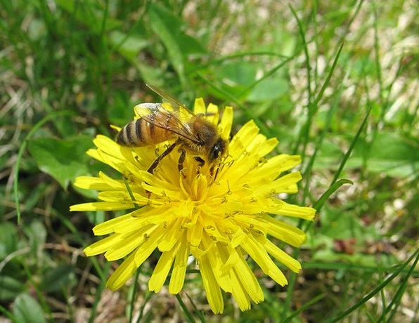 Bee Landscapes Darling Nature Dandelion Honey Macr
