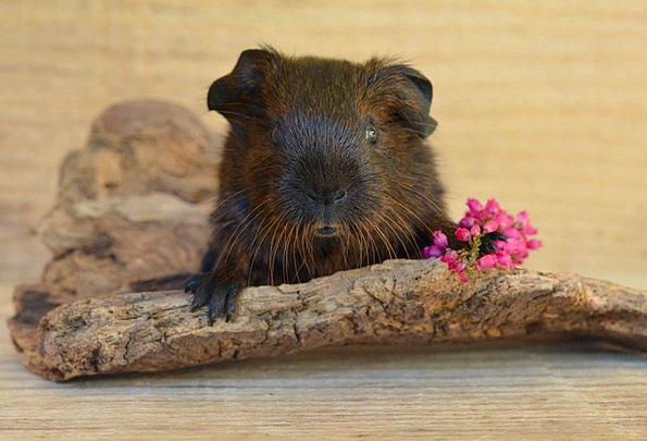 Gold Agouti Young Animal Guinea Pig Smooth Hair Cu