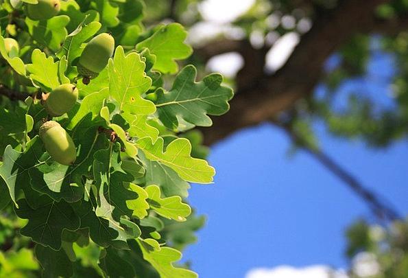 Acorn Landscapes Nature Branch Division Acorns See