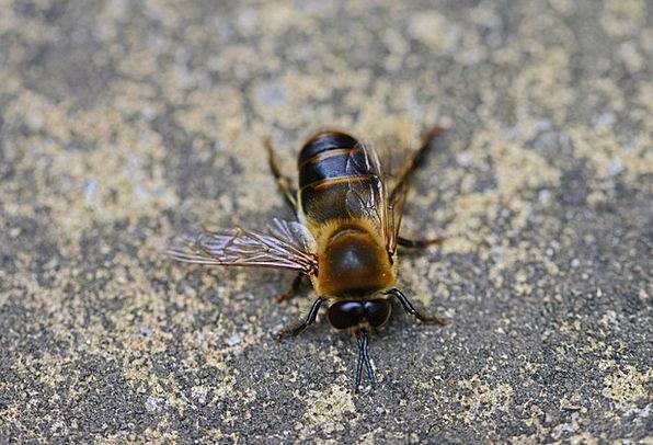 Drone Buzz Male Masculine Honey Bee Detail Bee Hea