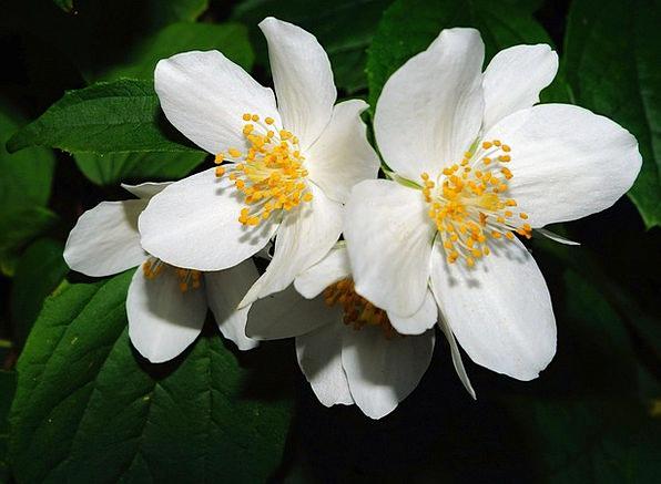 Bauer Jasmin Bush Scrubland Jasmin Flowers Plants