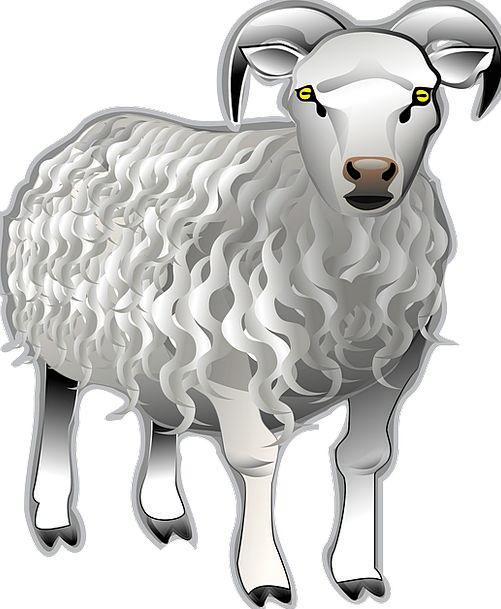 Sheep Ewe Butt Animal Physical Ram Horns Domestic