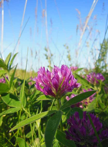 Trifolium Pratense Red Clover Clover Flower Plant