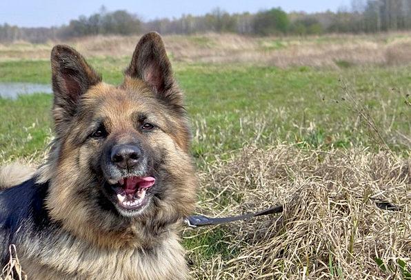 Dog Canine Physical Fur Hair Animal Coat Leash Ger