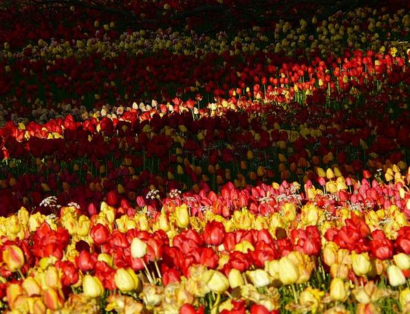 Tulip Field Landscapes Taillight Nature Light Brig