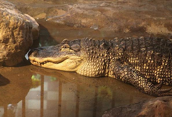 Alligator Physical Crocodile Line Animal Teeth Dan