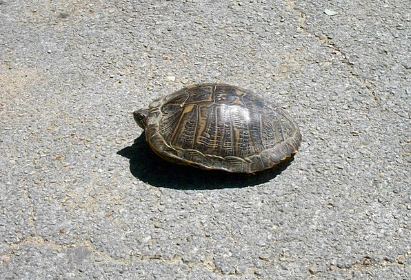 Turtle Tarmac Animal Physical Asphalt Slow Street
