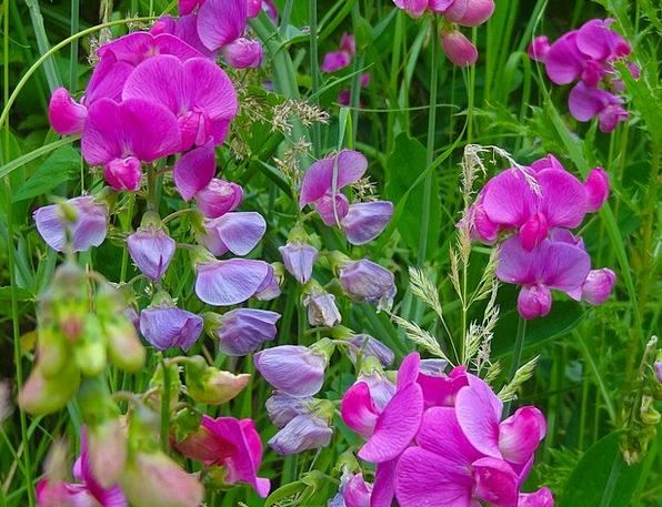 Pea Flower Meadow Pea Flower Purple Elaborate Flow
