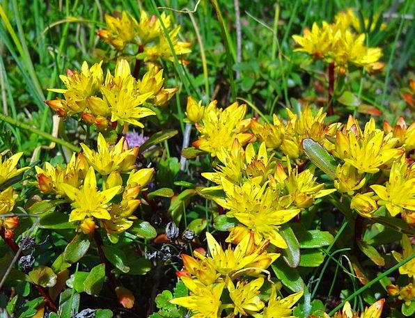 Sedum Flower Meadow Stonecrop Flowers Plants Yello