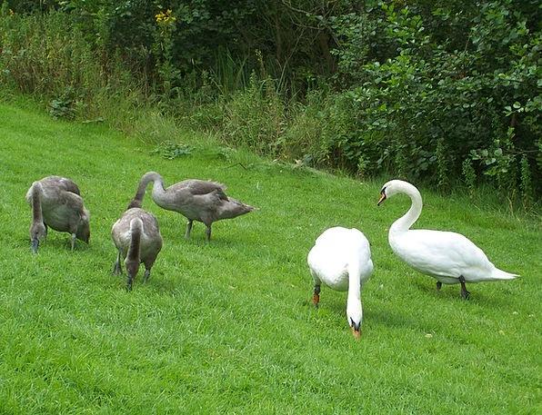 Mute Swan Family Swans Wanders Cygnus Olor Webbed