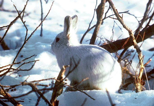 Arctic Hare Bunny Rabbit Polar Rabbit Thick Fur Cu