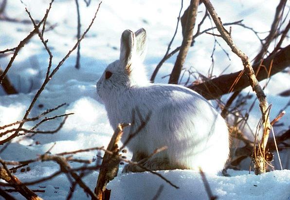 Arctic Hare Bunny Rabbit Polar Rabbit Thick Fur Cu