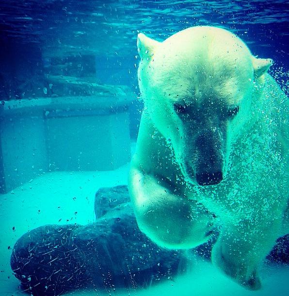 Polar Bear Tolerate Underwater Submerged Bear Linc