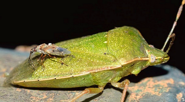 Insects Bugs Bug Germ Hemiptera Green Lime Nezara