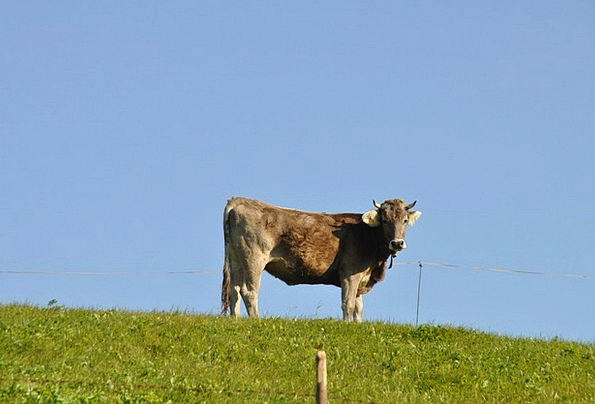 Cow Intimidate Field Ruminant Reflective Meadow Ma