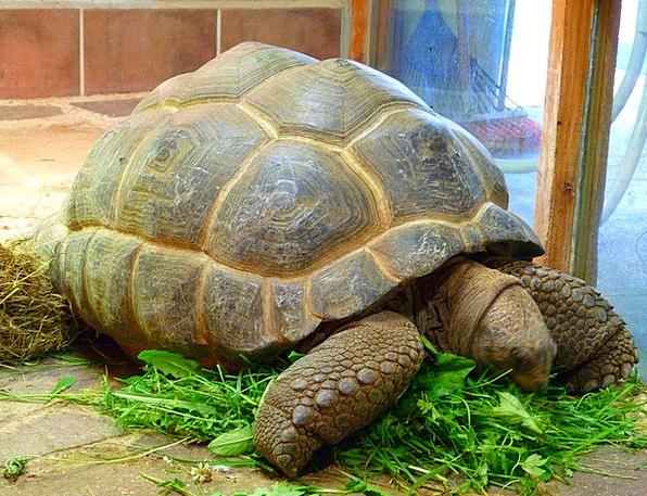 Giant Tortoise Testudinidae Genuine Tortoise Turtl