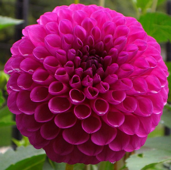 Flower Floret Elaborate Flora Vegetation Purple Pe