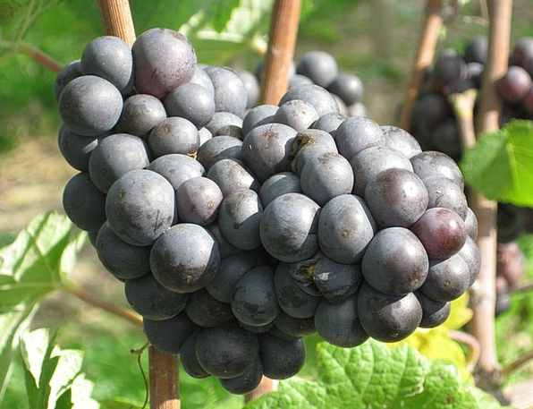 Grapes Drink Sugary Food Fruit Ovary Sweet Edible