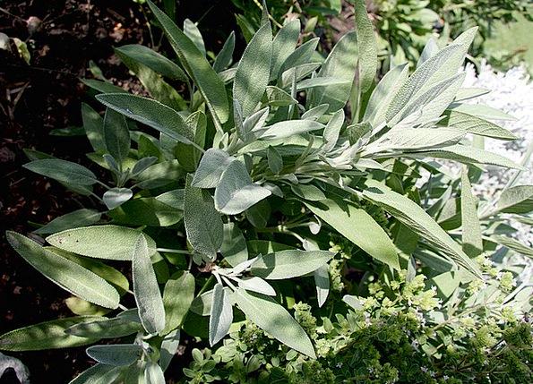 Sage Wise Landscapes Scrubland Nature Plant Vegeta