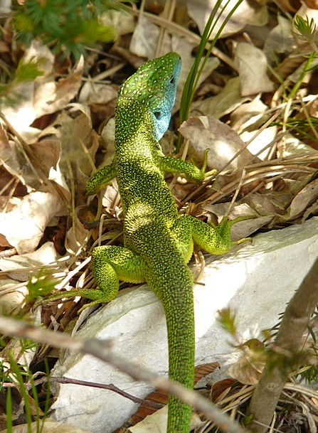 Emerald Lizard Reptile Lizard Animal Physical Faun
