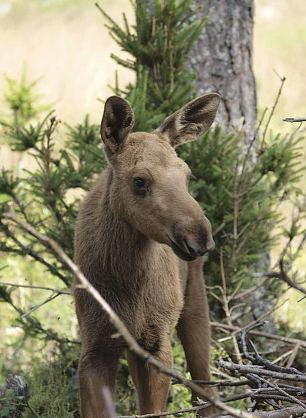 Moose Calf Moose Child Moose Young Animal Young Sw