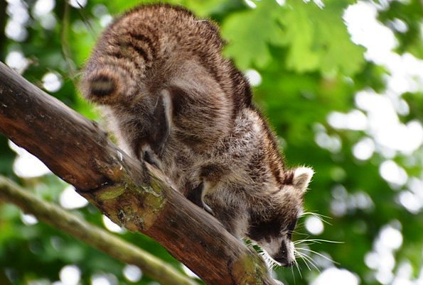 Raccoon Eco-Park Güstrow