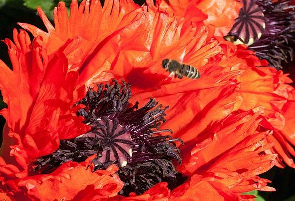 Ornamental Poppies Landscapes Nature Flower Floret