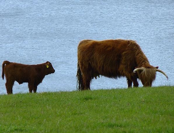 Cow Intimidate Beef Complaint Calf Scottish Hochla