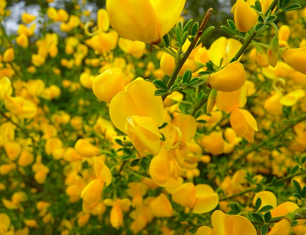 Broom Brush Landscapes Floret Nature Yellow Creamy
