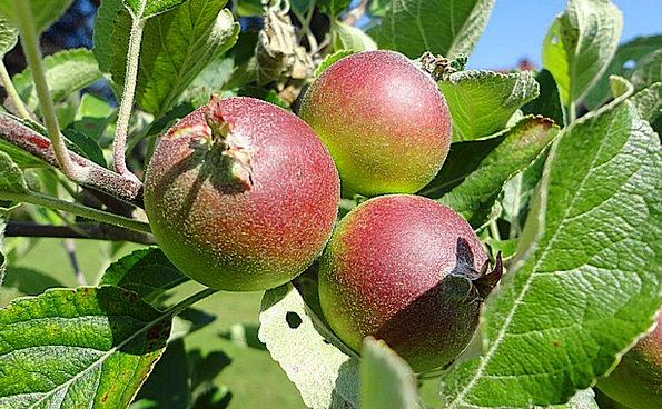 Apple Drink Ovary Food Healthy Fit Fruit Plant Veg