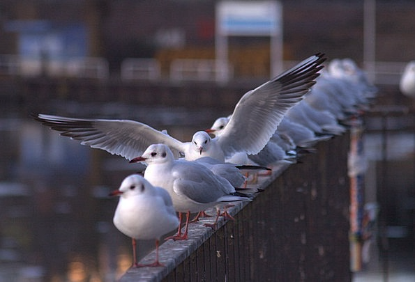 Seagull Berlin Gulls Spree Binge Creature Railing