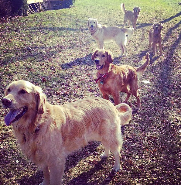 Golden Retrievers Canines Pet Domesticated Dogs An