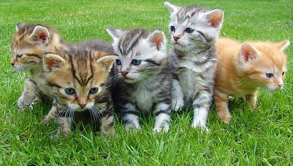 Kittens Feline Cat Puppy Cat Bkh Rush Haste Cat Br