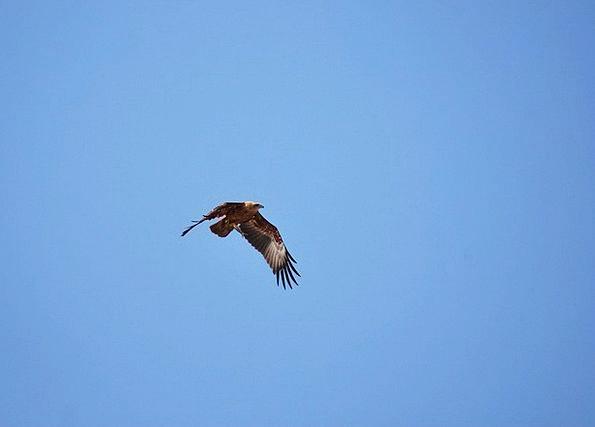 Eagle Vacation Travel Flying Hovering Benaulim Goa