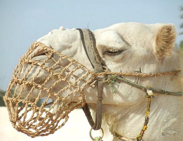 Camel Beige Desert Reward Dromedary Desert Ship Af