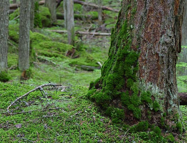 Forest Woodland Landscapes Nature Green Lime Moss