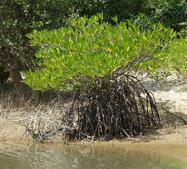 Mangrove Class Tidal Forest Species Creek Stream K