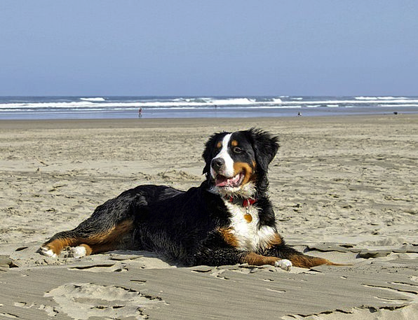 Bernese Mountain Dog Vacation Travel Dogs Canines