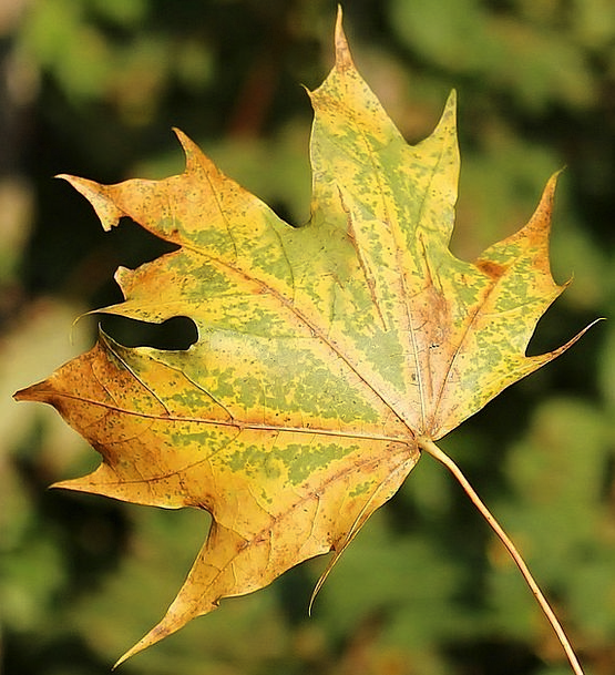 Maple Leaf Landscapes Periodical Nature Autumn Fal