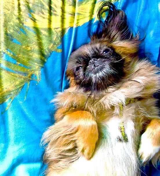 Pekinese Canine Sweet Sugary Dog Rest Break Summer