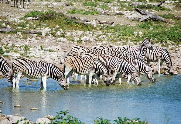 Zebras Liquids Africa Potions Etosha Water Animals