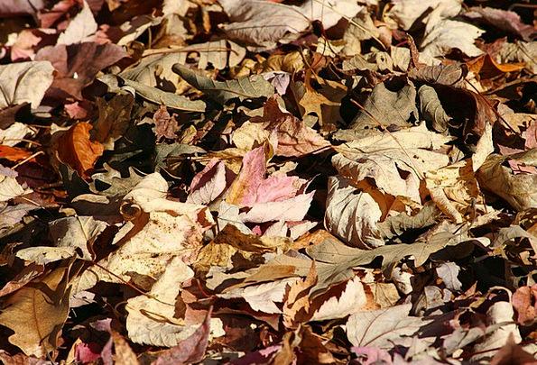 Fallen Leaves Fall Forest Floor Understory Autumn