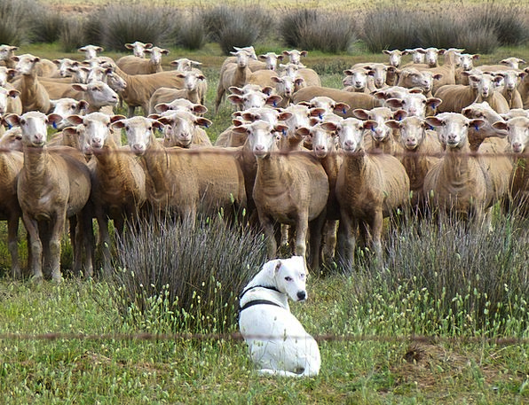 Dog Canine Flock Herd Schäfer Dog Flock Of Sheep M