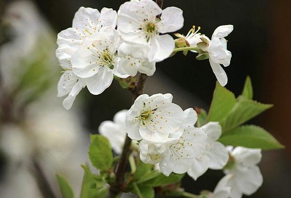 Cherry Blossom Landscapes Nature Spring Coil Sour