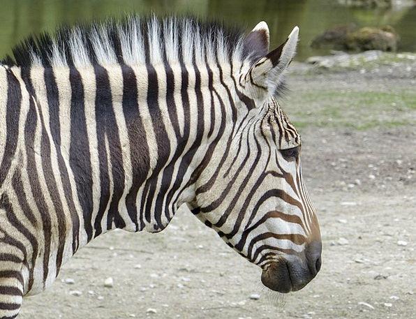 Hartmann Mountain Zebra Southwest Africa Zebra Clo