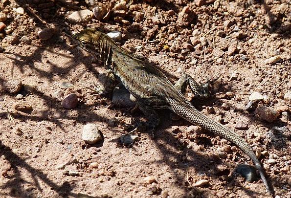 Lizard Landscapes Nature Wild Life Reptile Nature