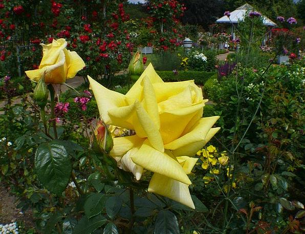 Rose Garden Landscapes Designs Nature Yellow Cream