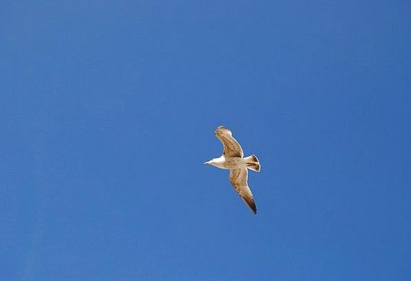 Seagull Fowl Sky Blue Bird Bird Flight