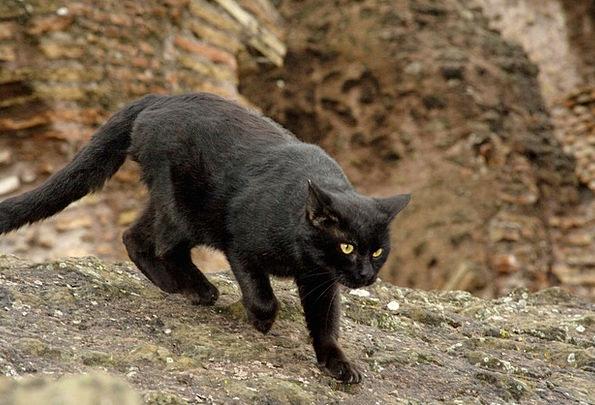 Cat Feline Faunae Black Dark Animals Colloseum Rom